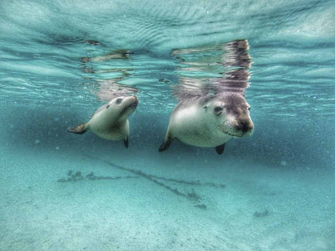two sea lions swimming australia