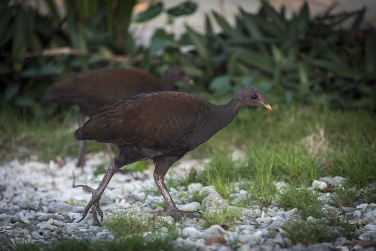 scrub fowl danjugan philippines