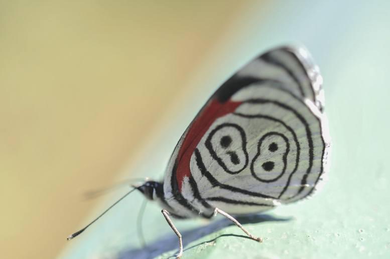 iguazu 88 butterfly