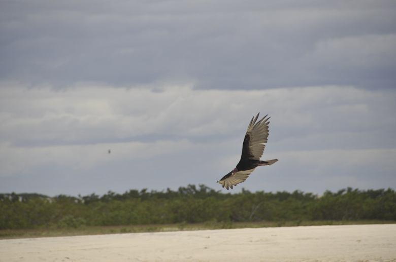 vulture nordeste brazil