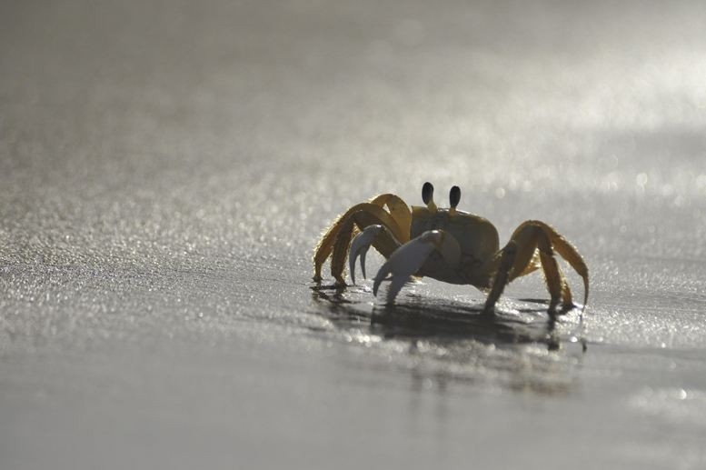 nordeste brazil crab