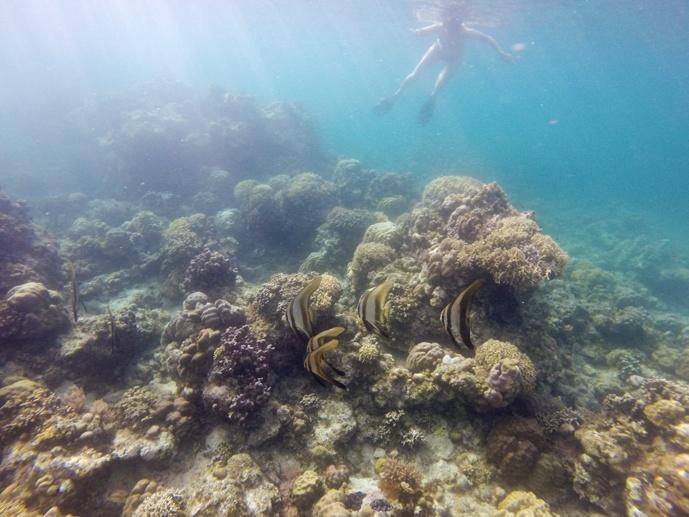 batfish underwater philippines