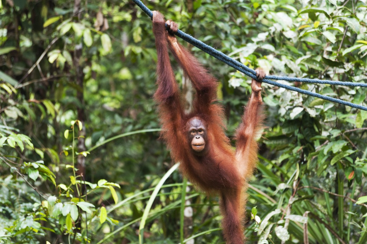 semenggoh young orangutan climbing