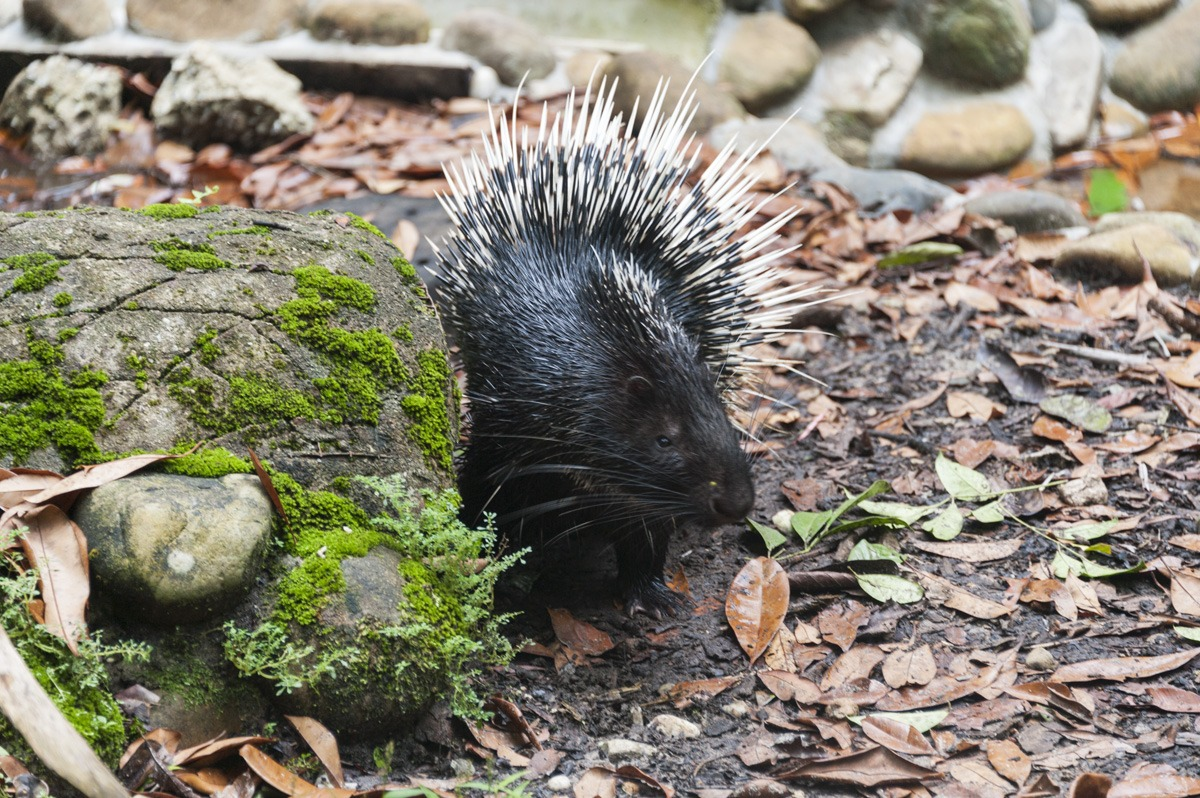 matang wildlife centre porcupine