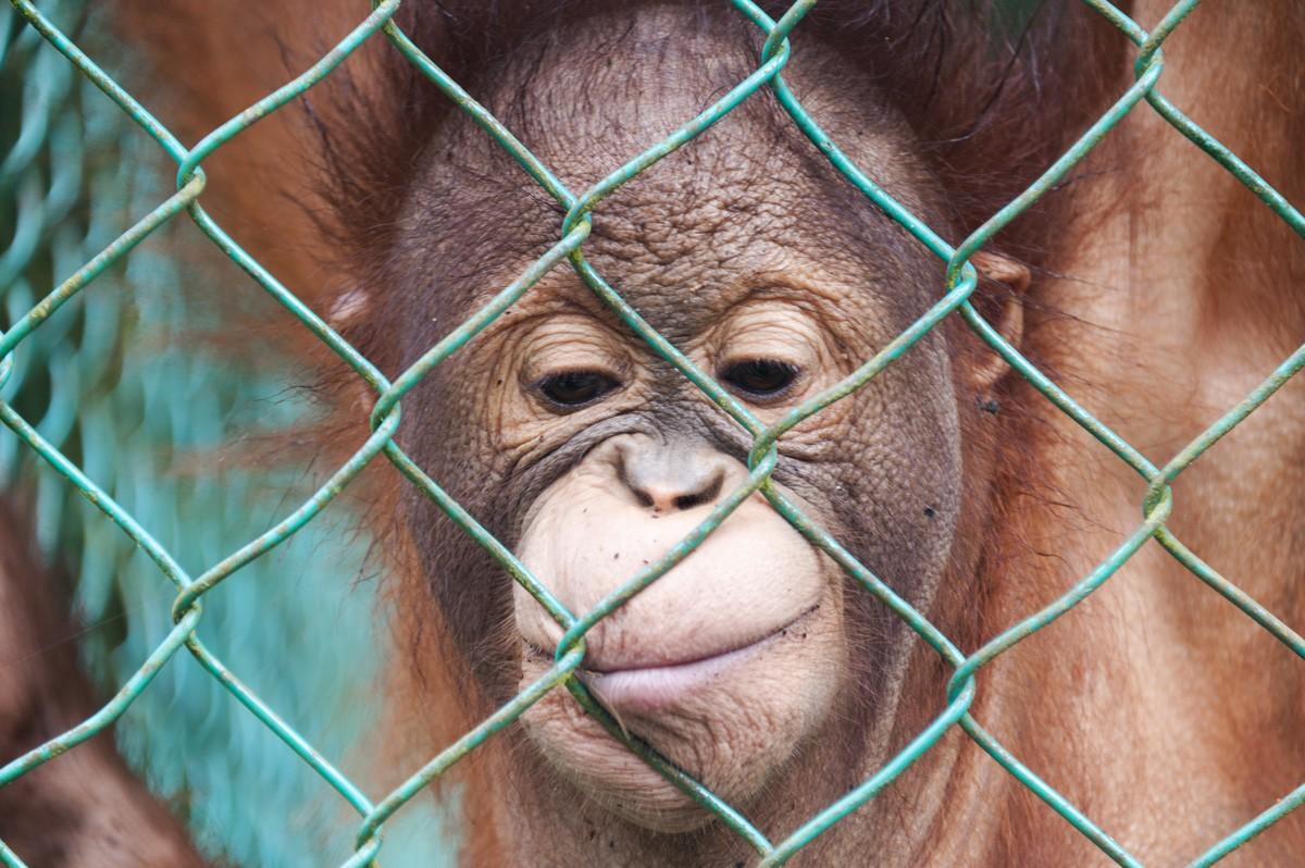 matang wildlife centre baby orangutan