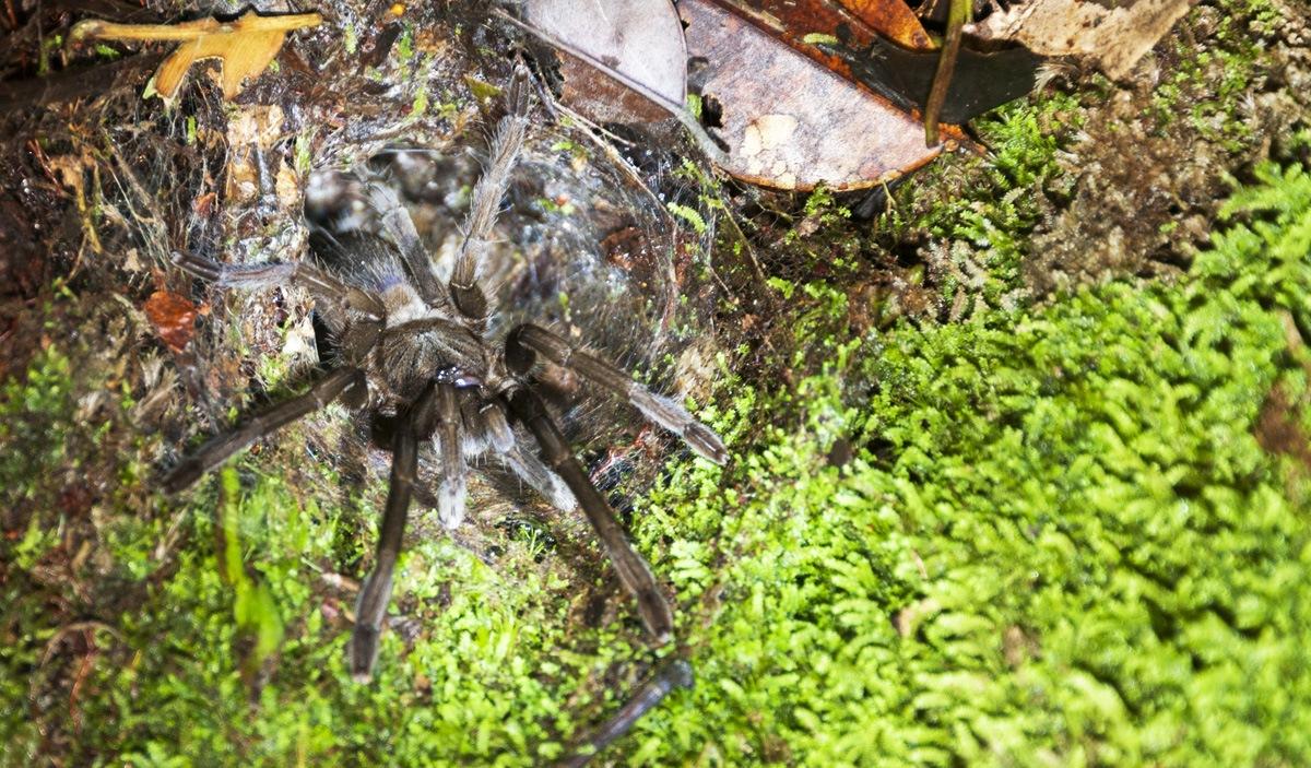night tarantula bako national park