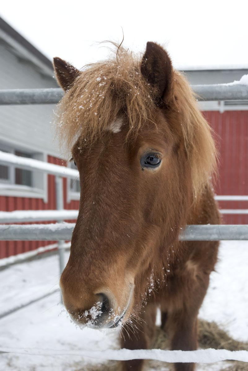 brown horse portrait finland