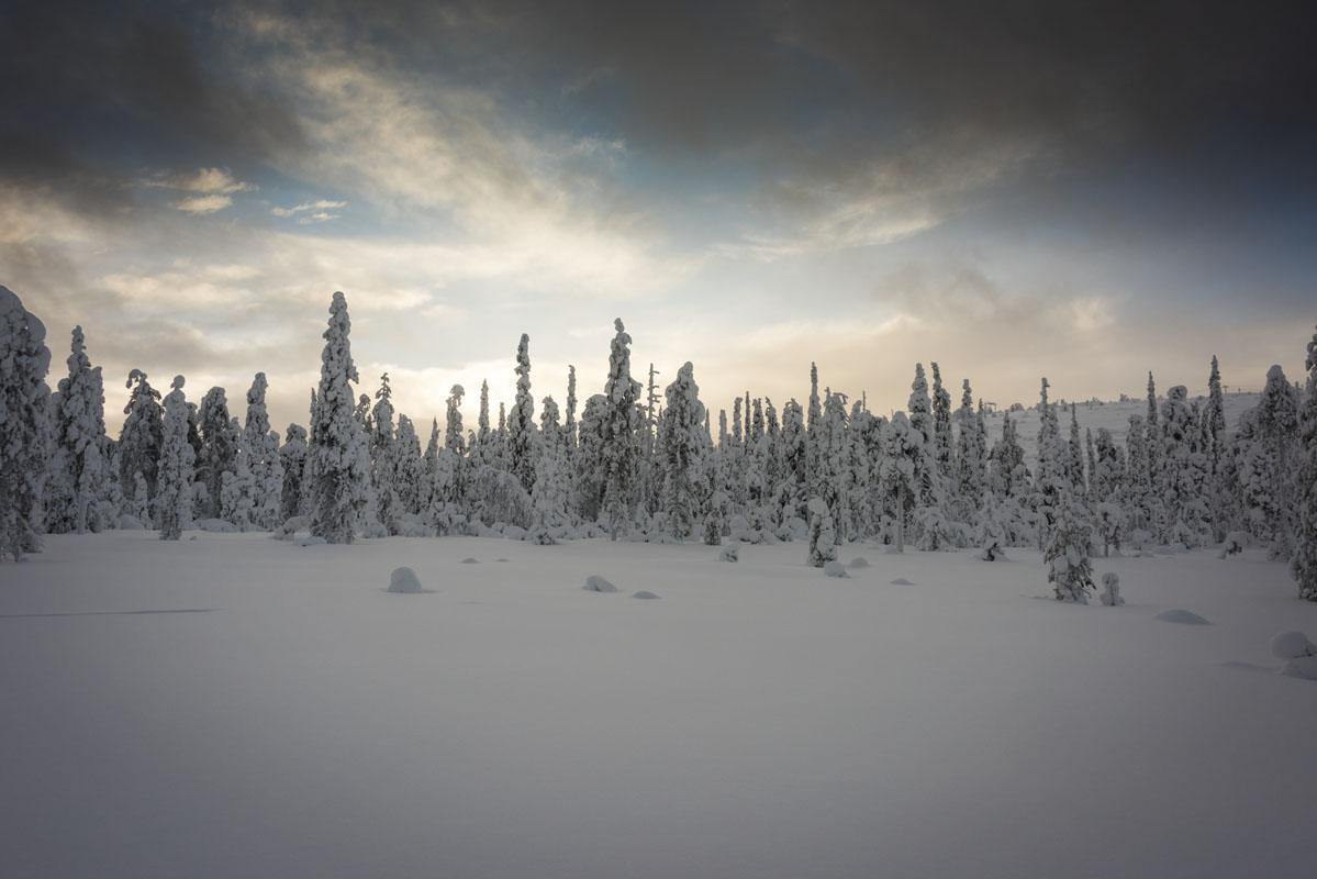 finland lapland snowy pines