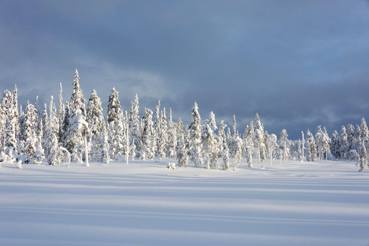 salla lapland snow pines