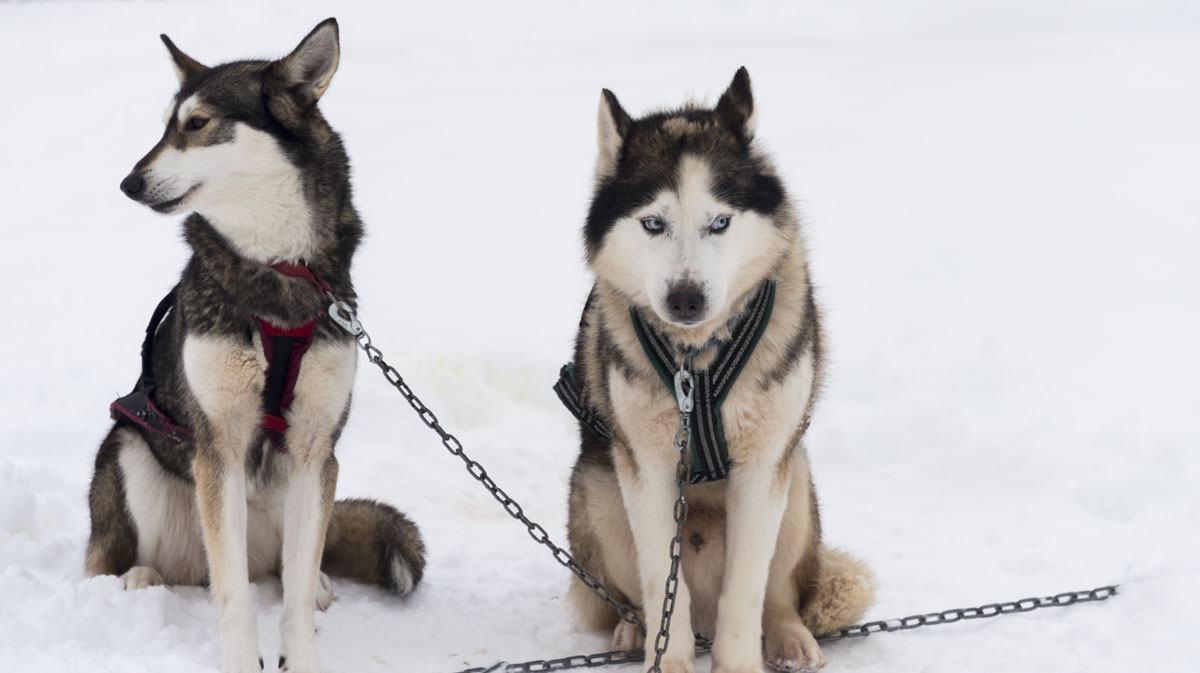 salla finland 2 huskies