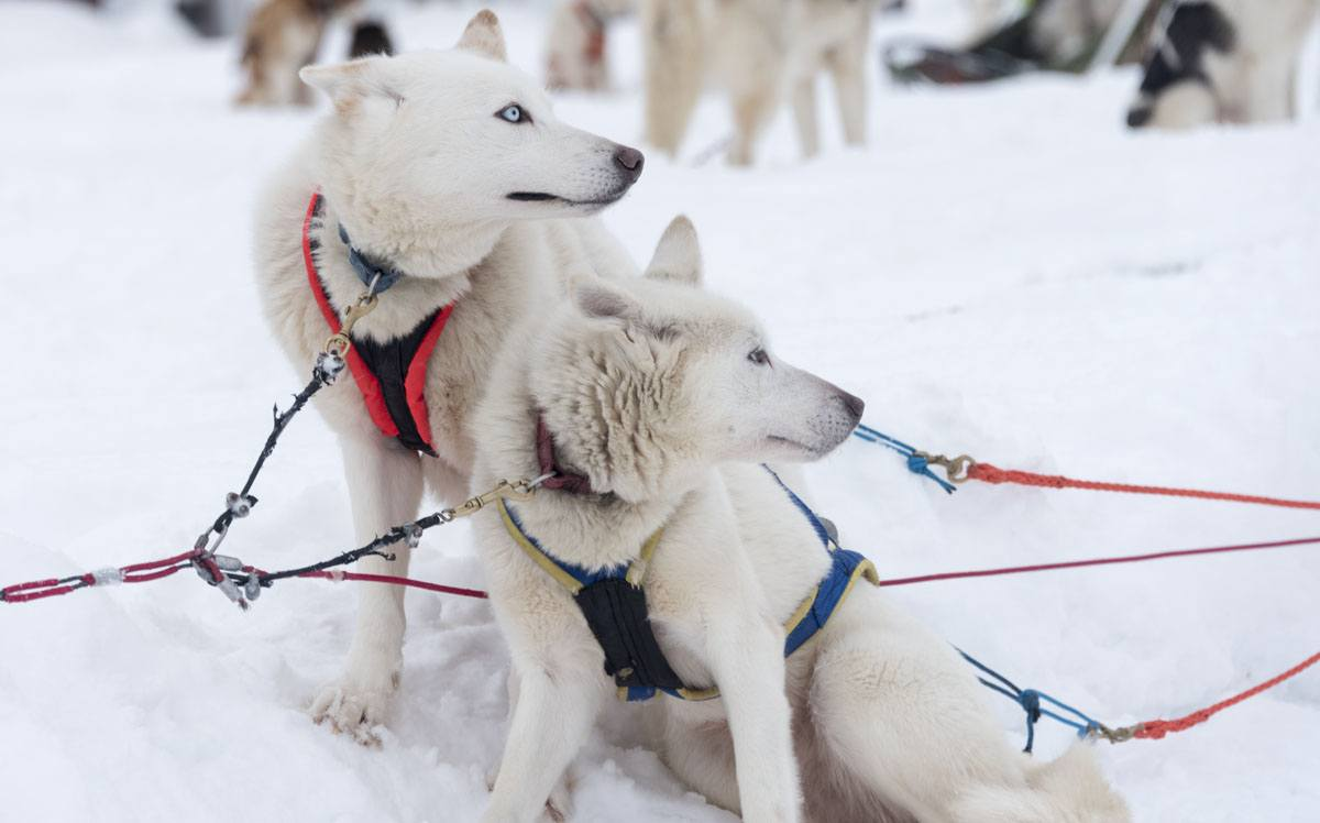 2 white huskies lapland