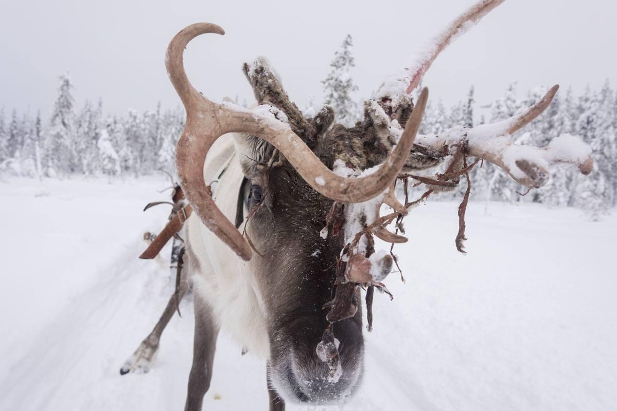 salla reindeer farm