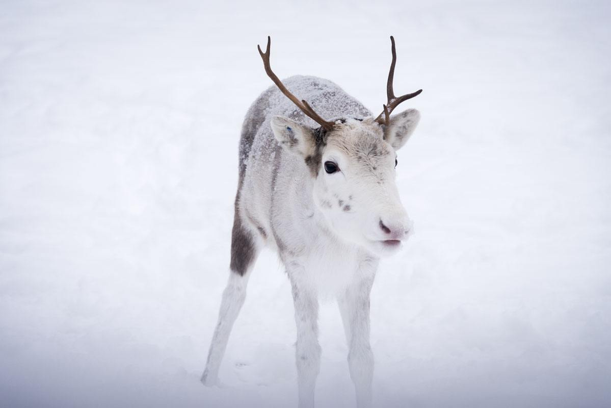 salla little white reindeer
