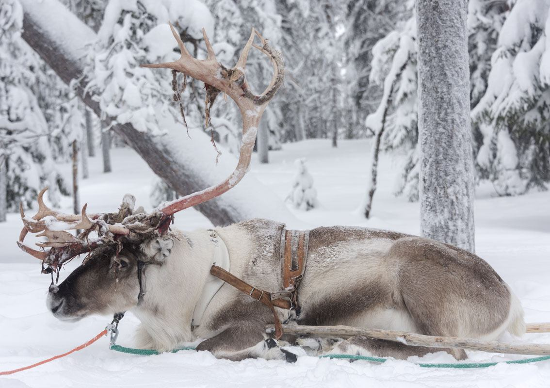 salla reindeer in wood finland