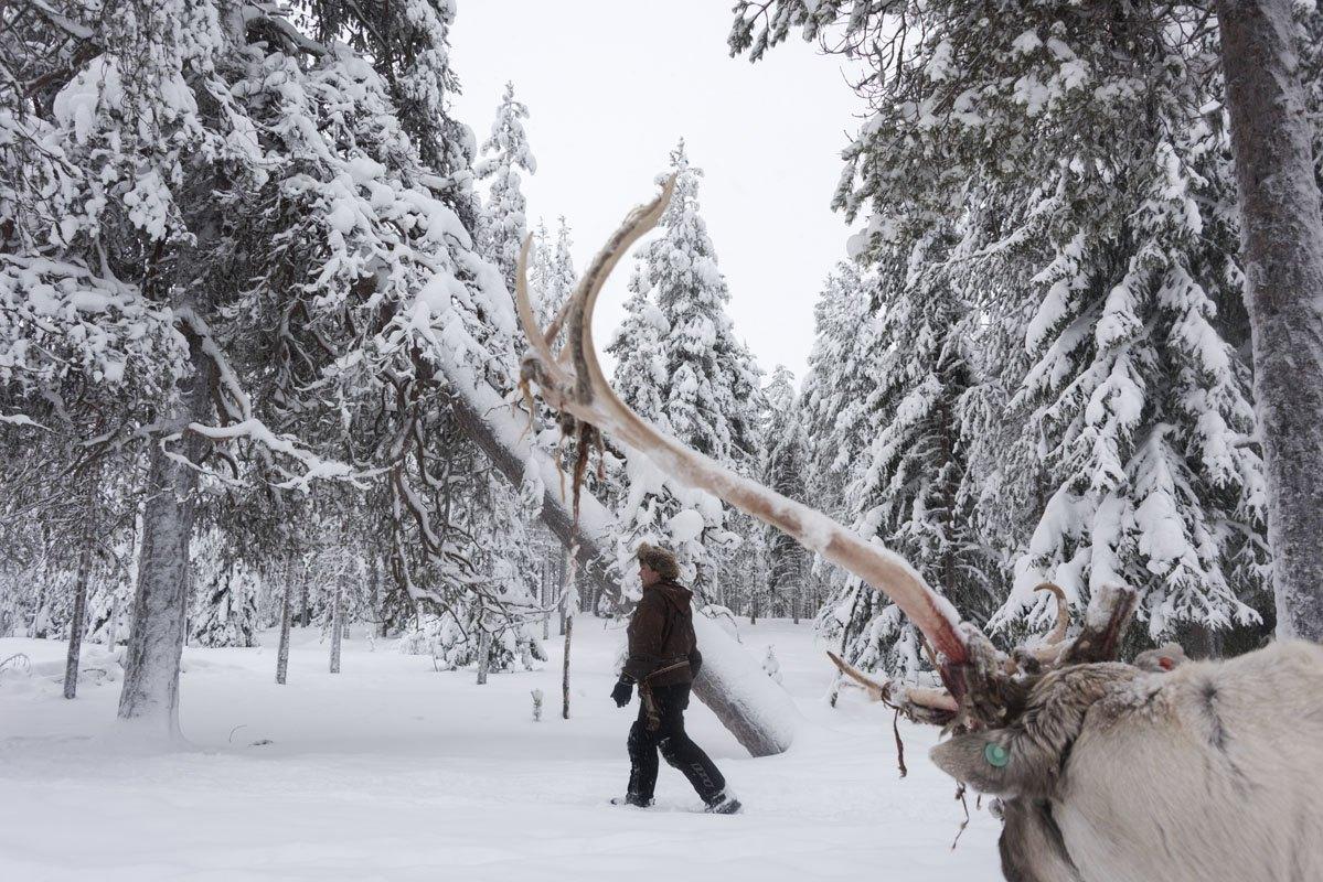 salla reindeer horn finland