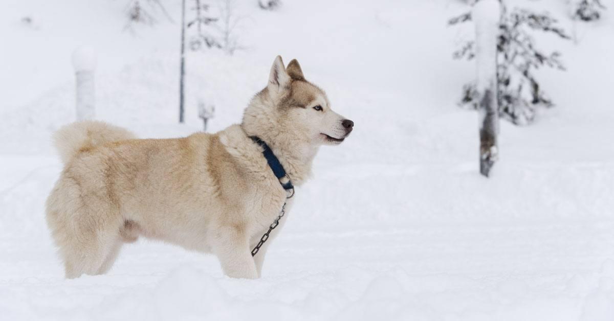 white husky lapland