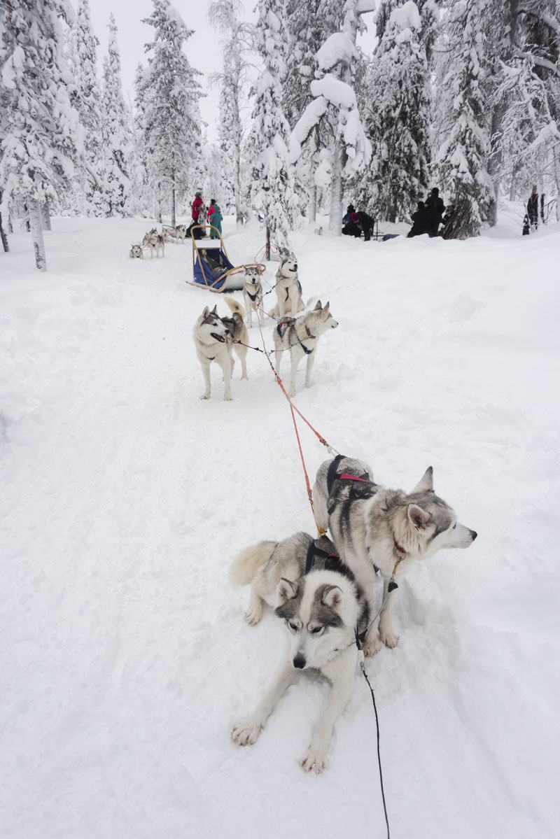 lapland huskies dog sledding