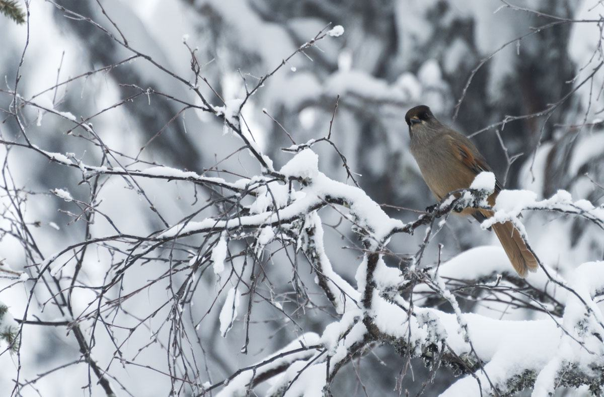 lapland snow bird