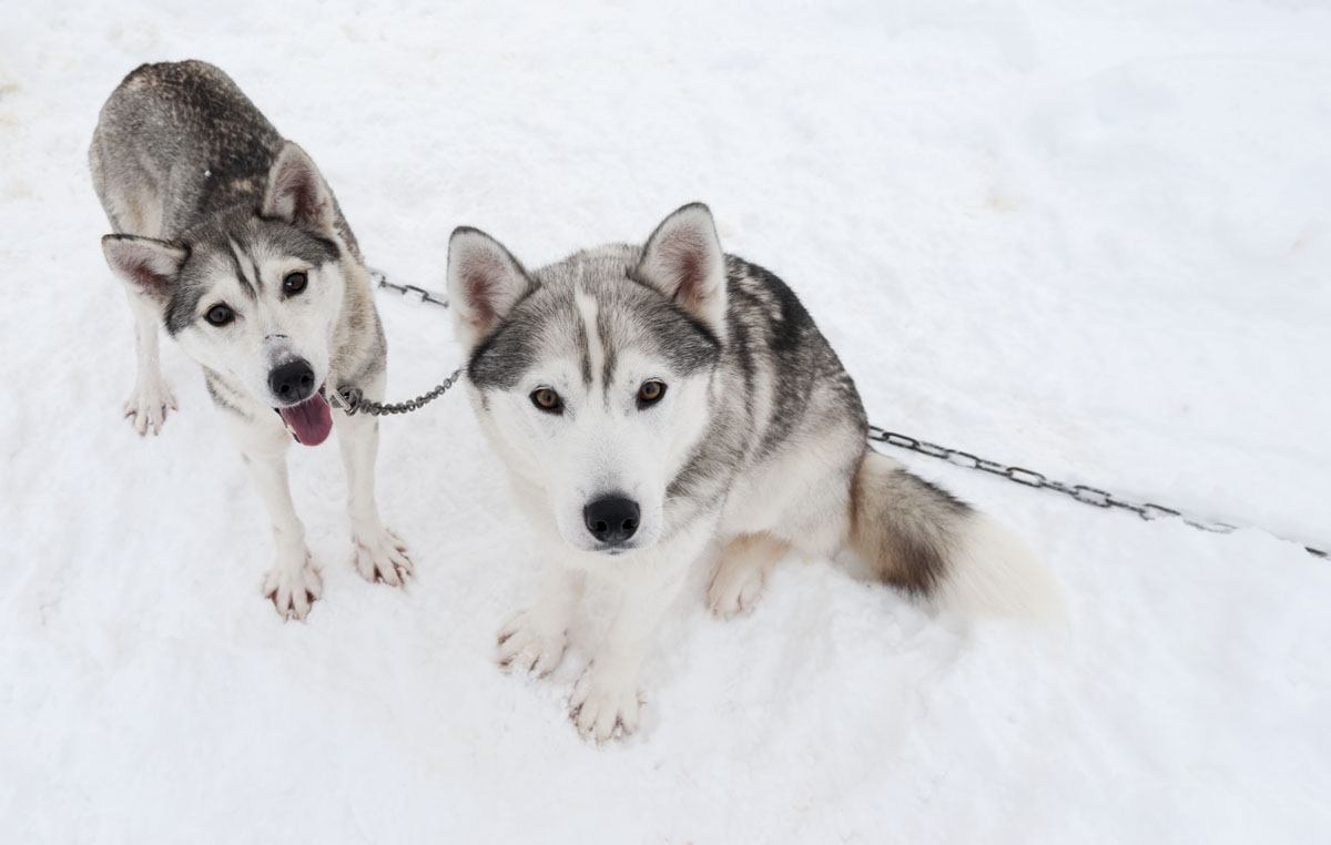salla finland super cute huskies