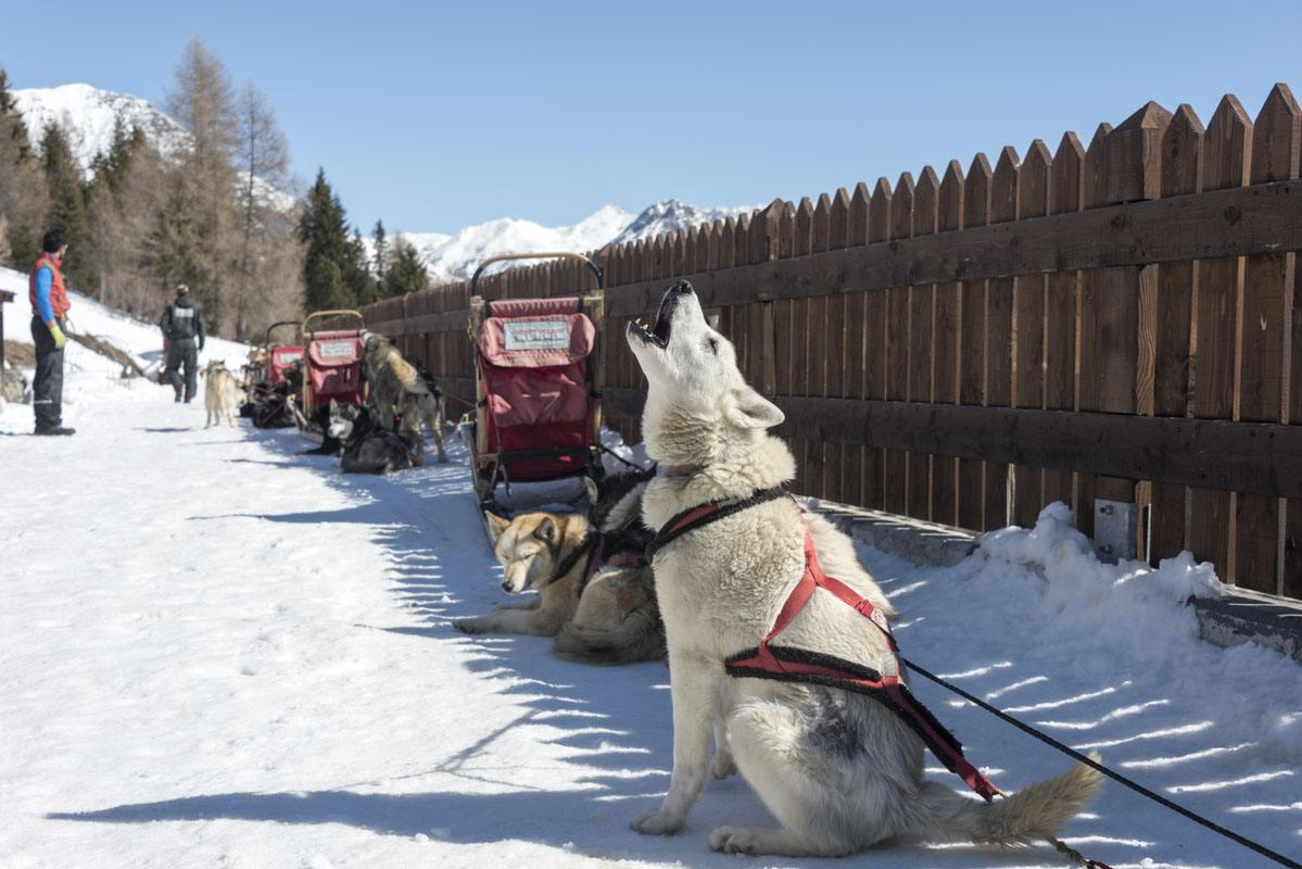 arnoga husky village white dog