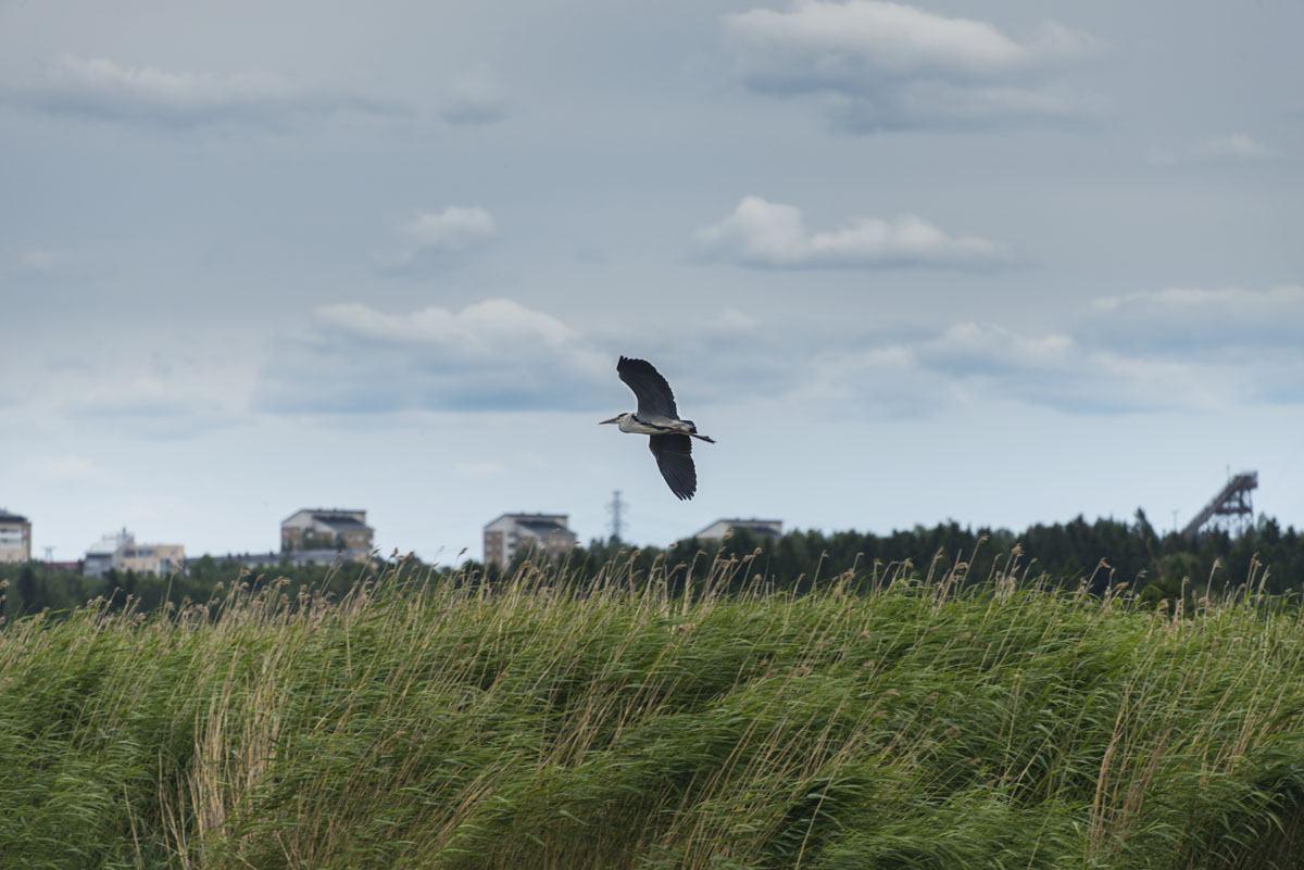 lammasaari birdwatching