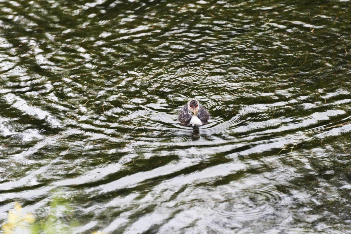 lohja finland lake baby duck