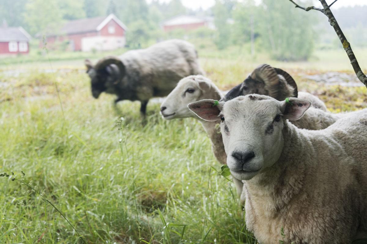 lohjansaari finland 3 sheep