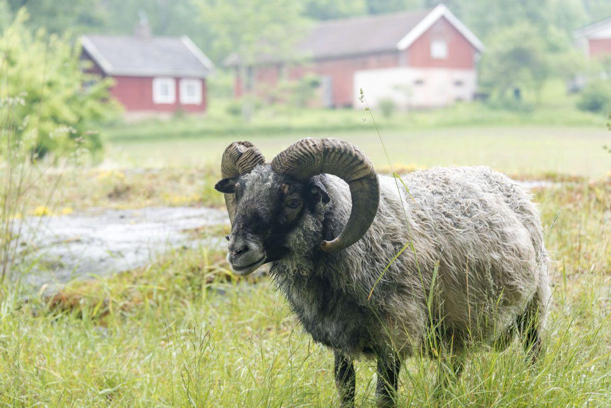lohjansaari finland martinpiha sheep