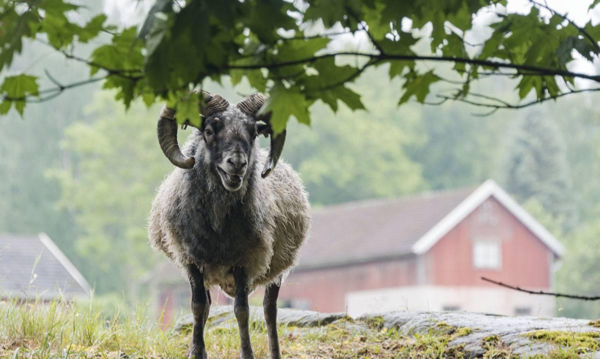 lohjansaari finland sheep