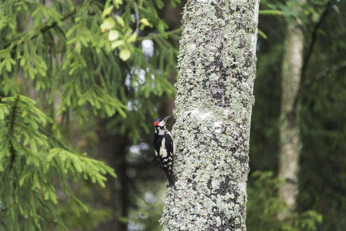 lohjansaari finland woodpecker