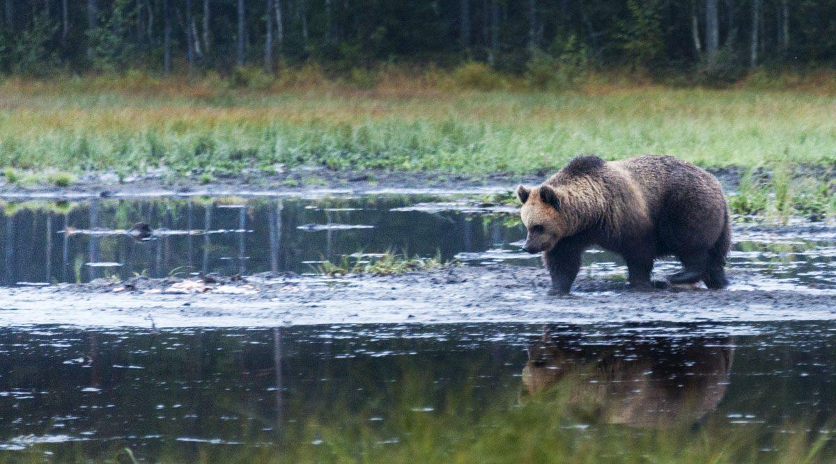 bear-kuusamo-autumn