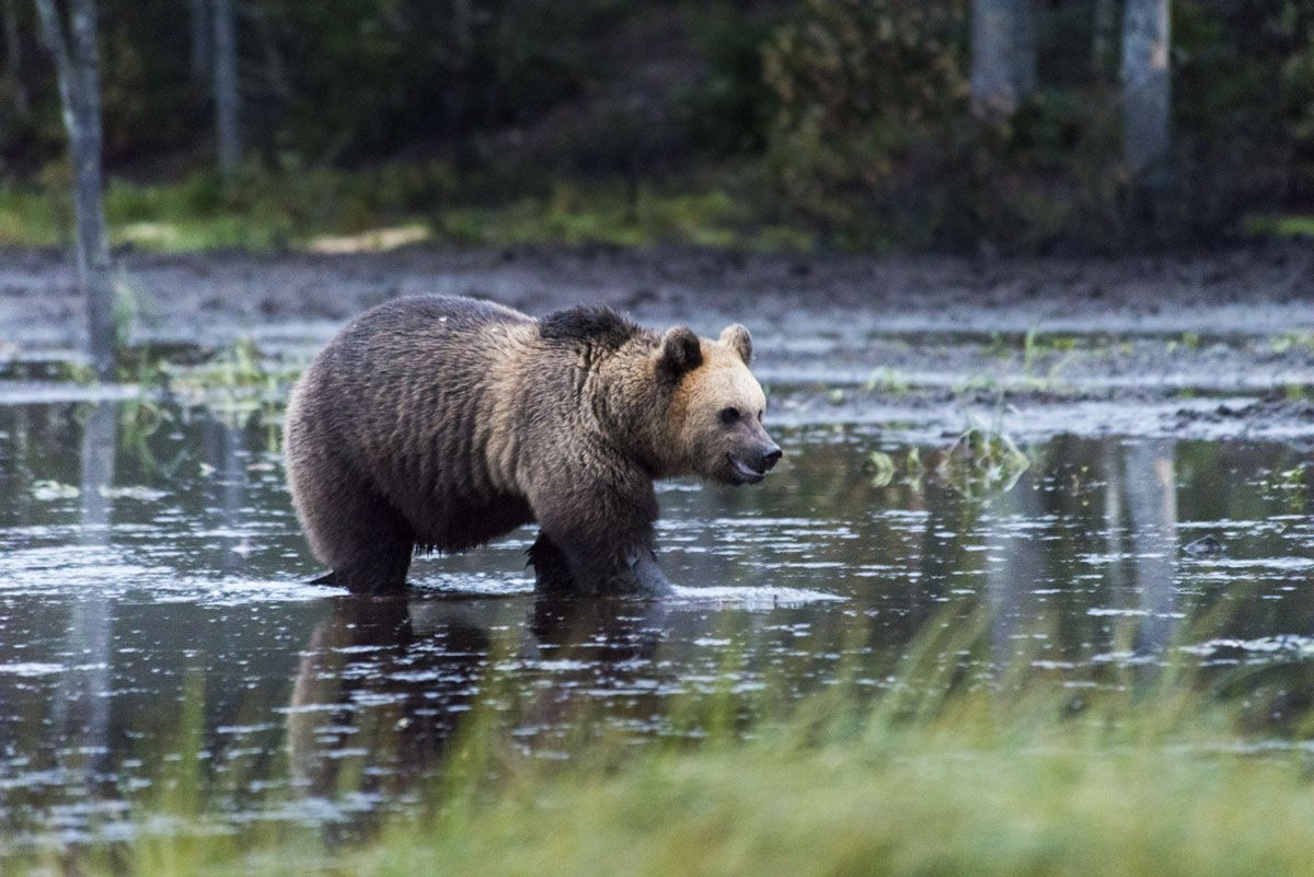 bear-pond-finland-russia