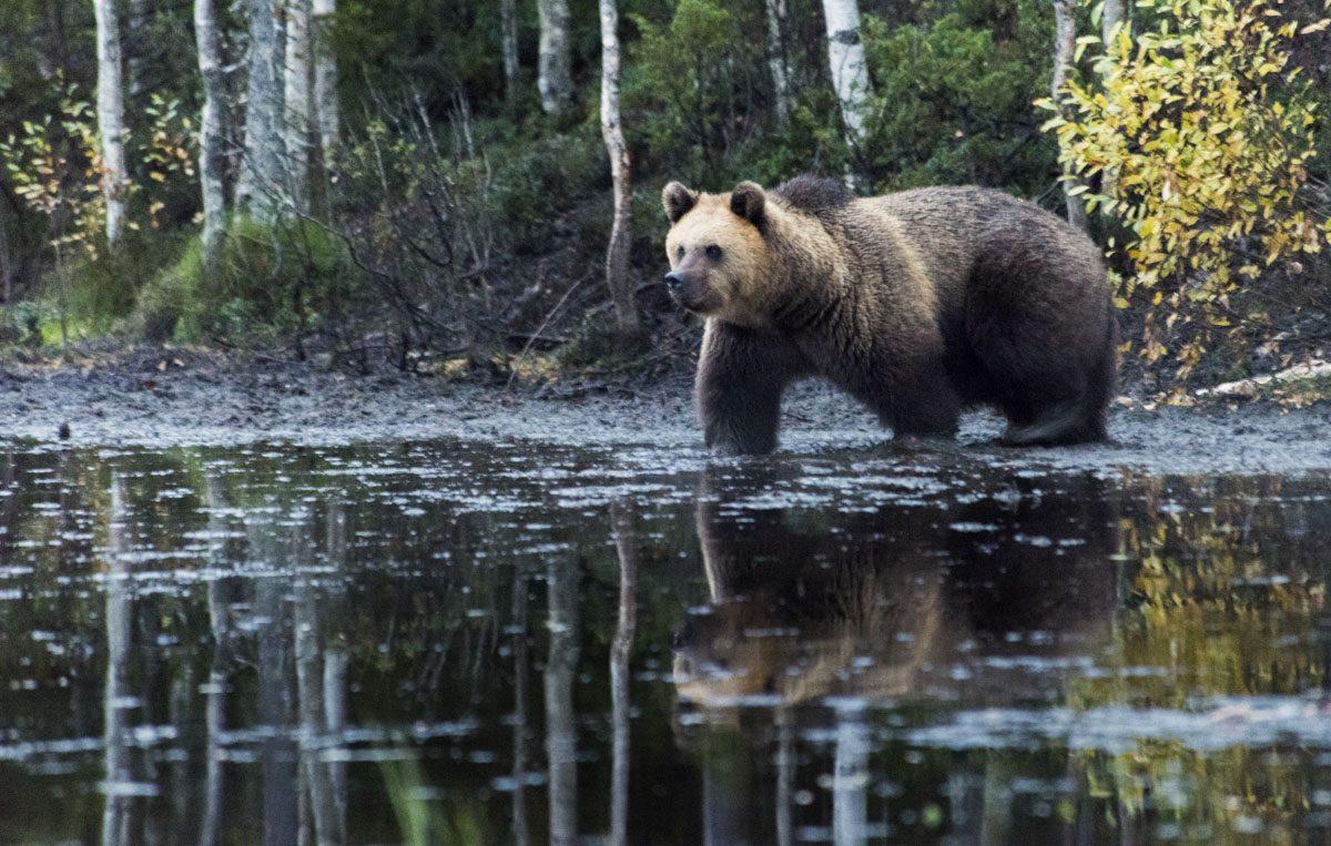 brown-bear-finland-lapland