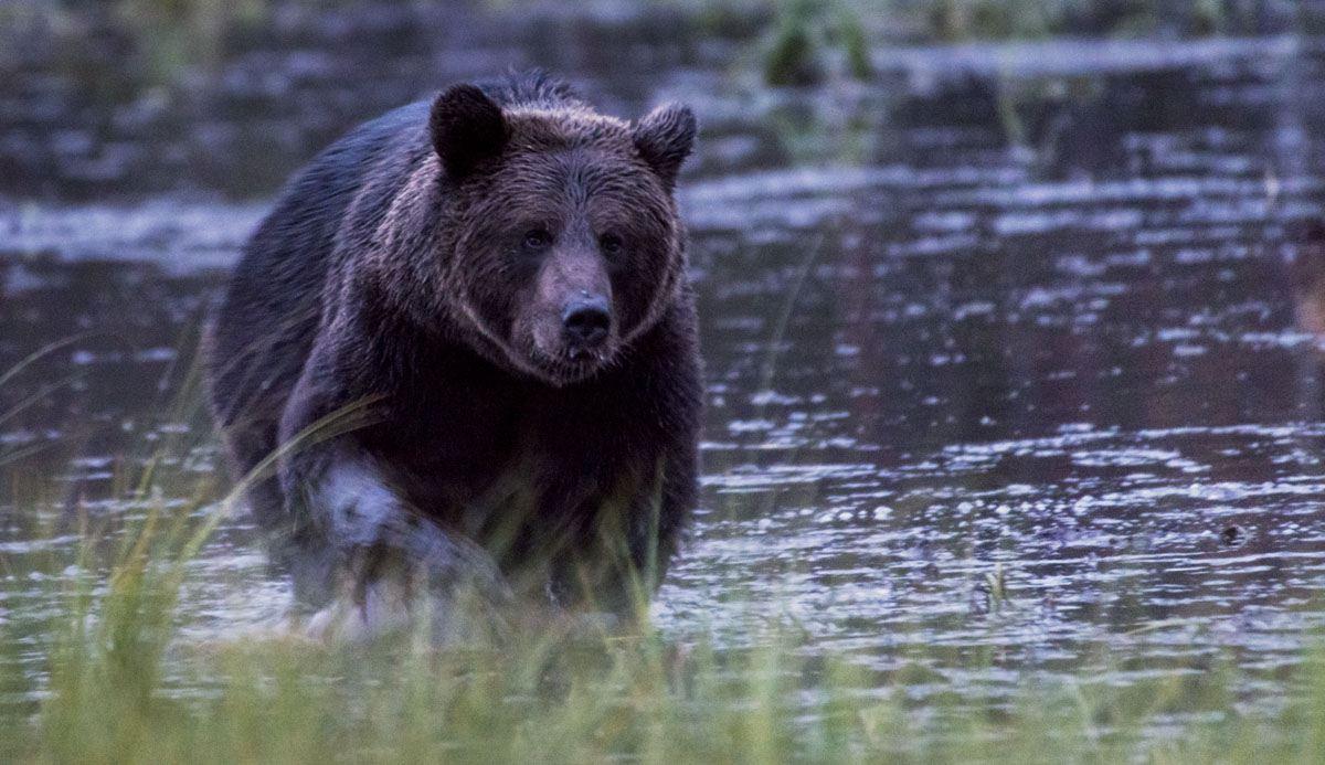 brown-bear-forest-kuusamo-lapland