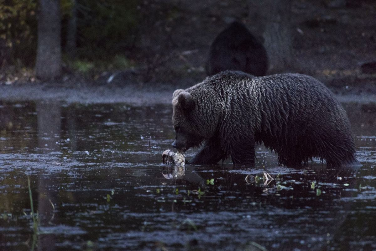 brown-bear-night-finland