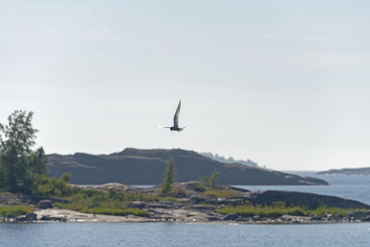 hanko-finland-arctic-tern
