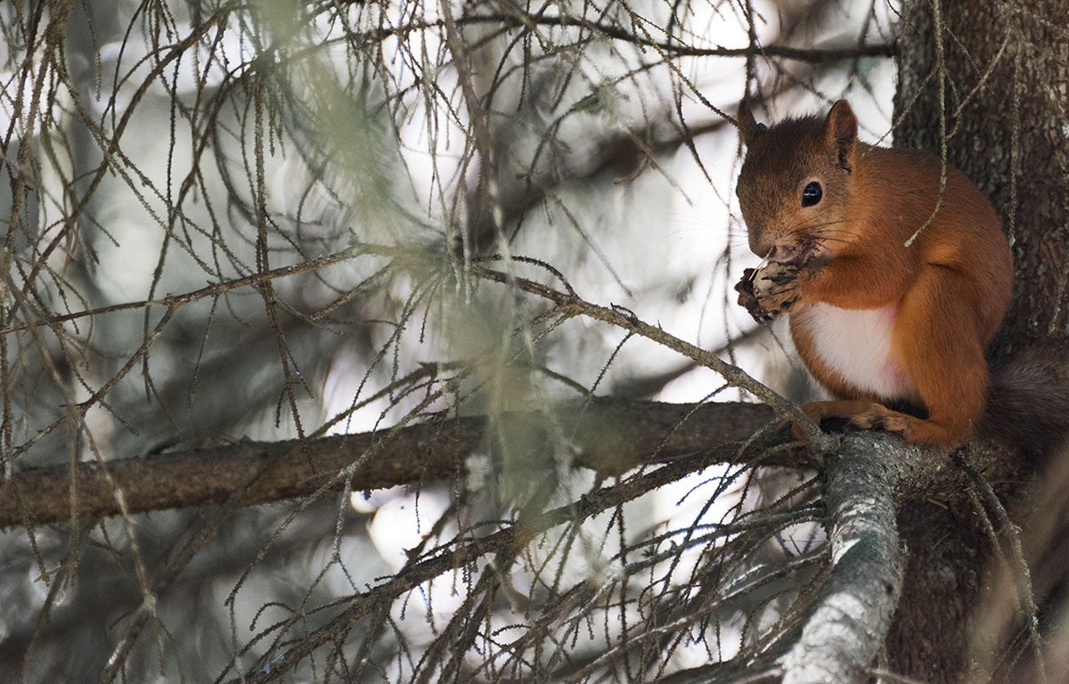 aland-sandosund-squirrel