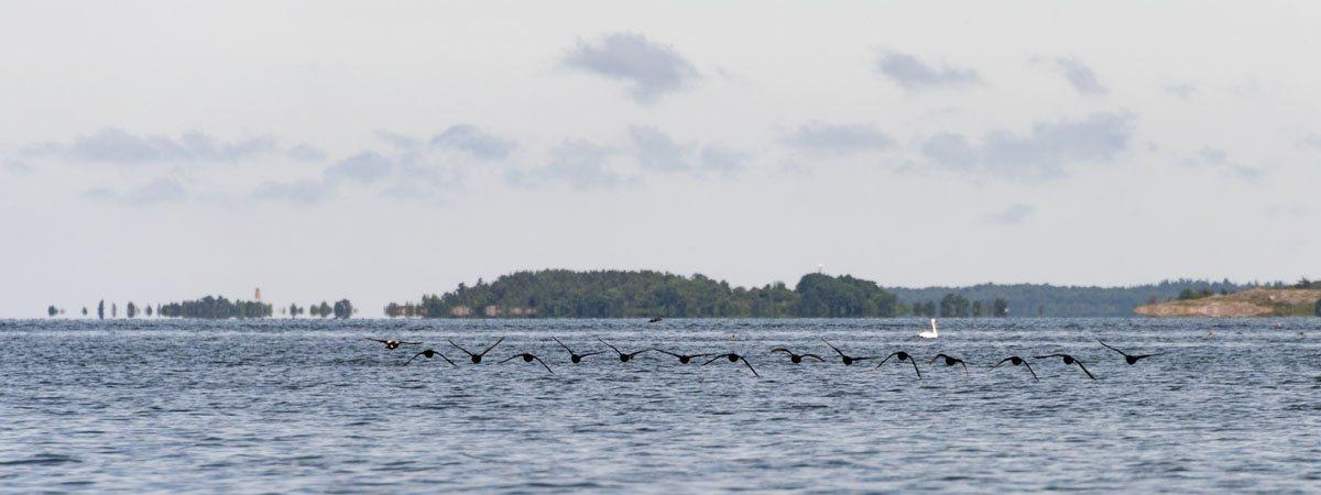 jurmo-aland-birds