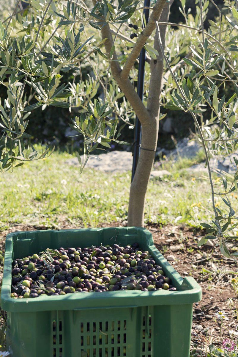olives-sipan-croatia
