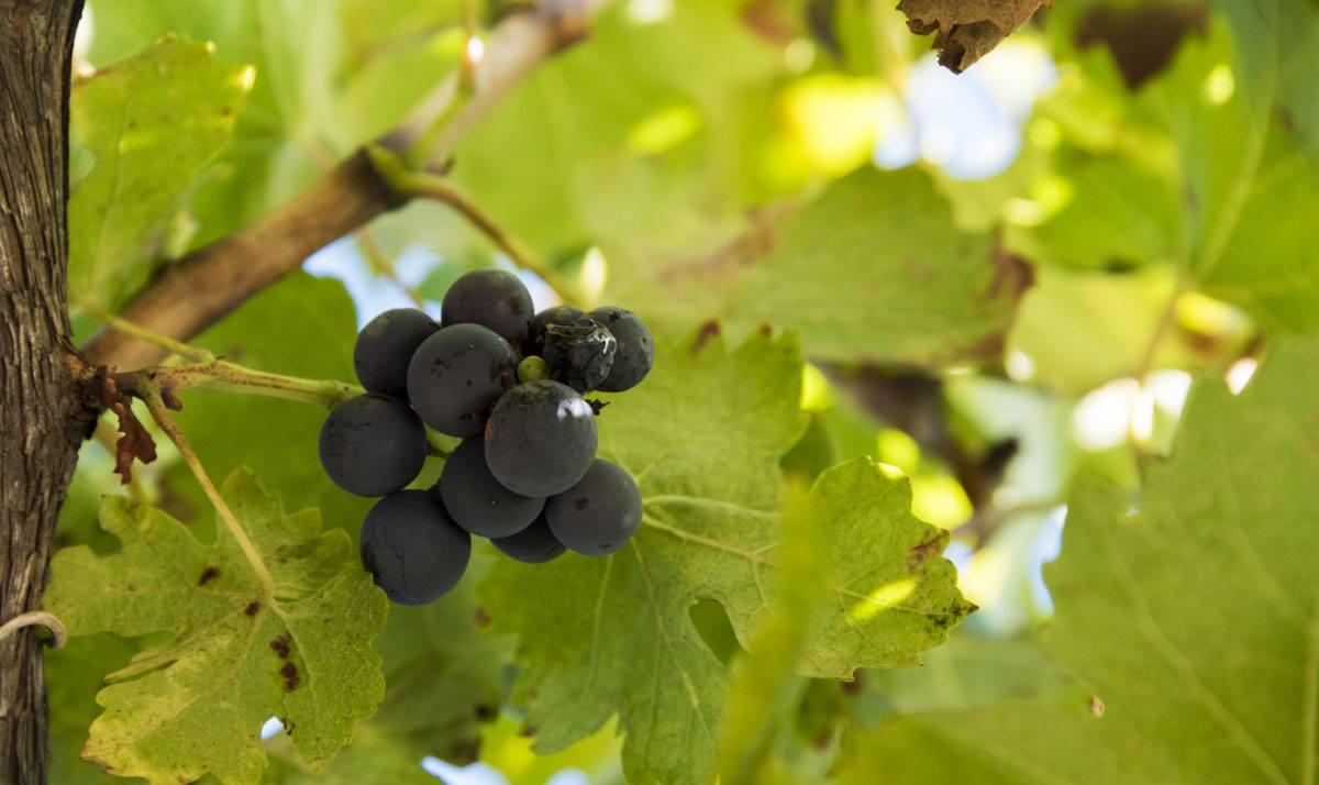 sipan-croatia-miho-bender-grapes