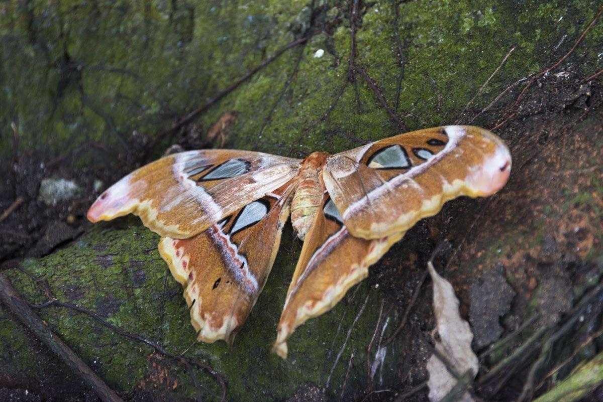 Philippines atlas moth