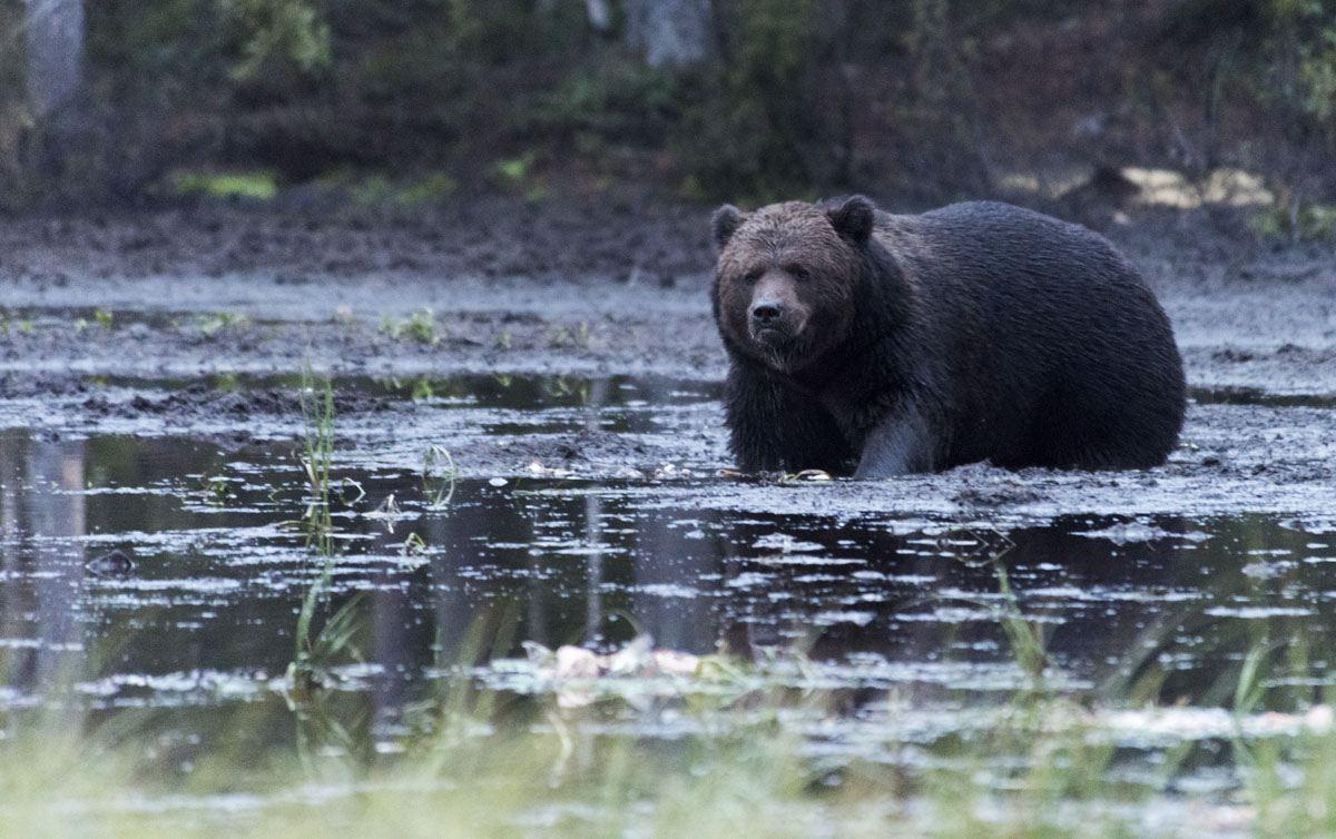 stopover-finland-kuusamo-bear-2