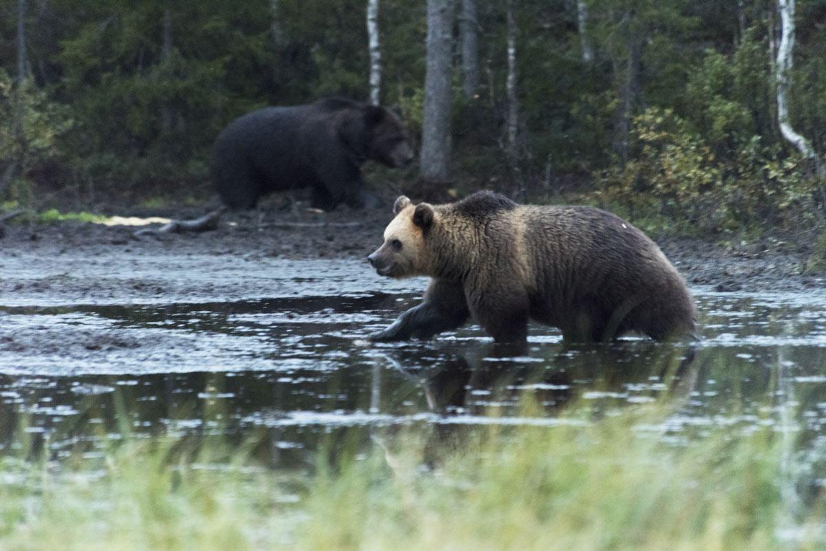 stopover-in-finland-kuusamo-bear-1