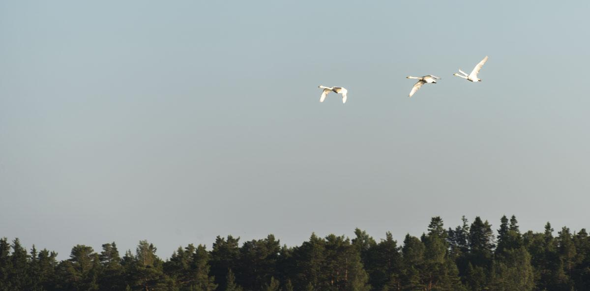 finnish archipelago birds