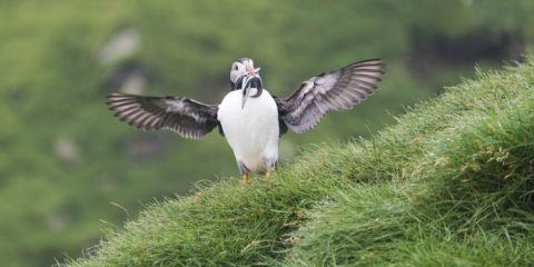 mykines faroe islands hello puffin