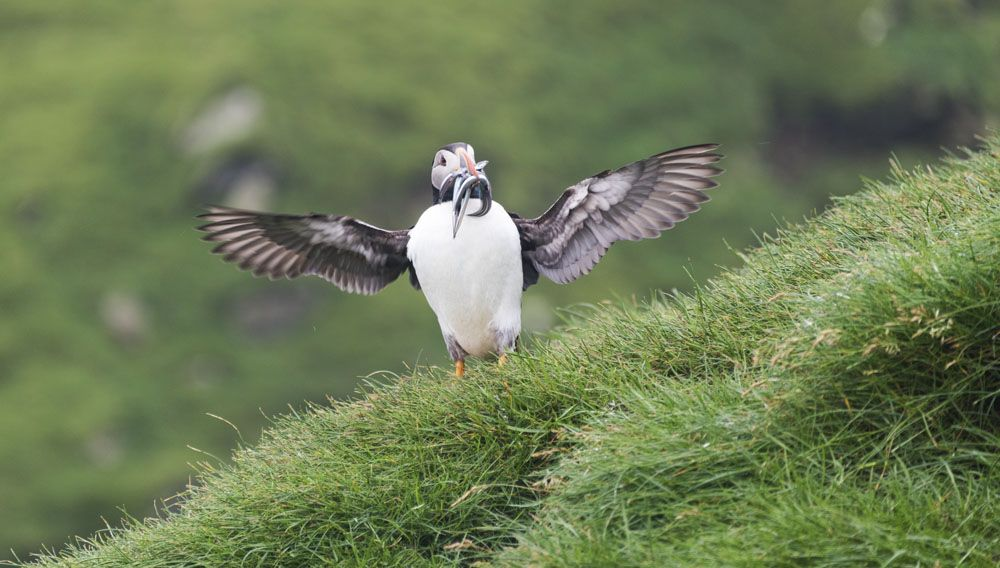 mykines faroe islands hello puffin