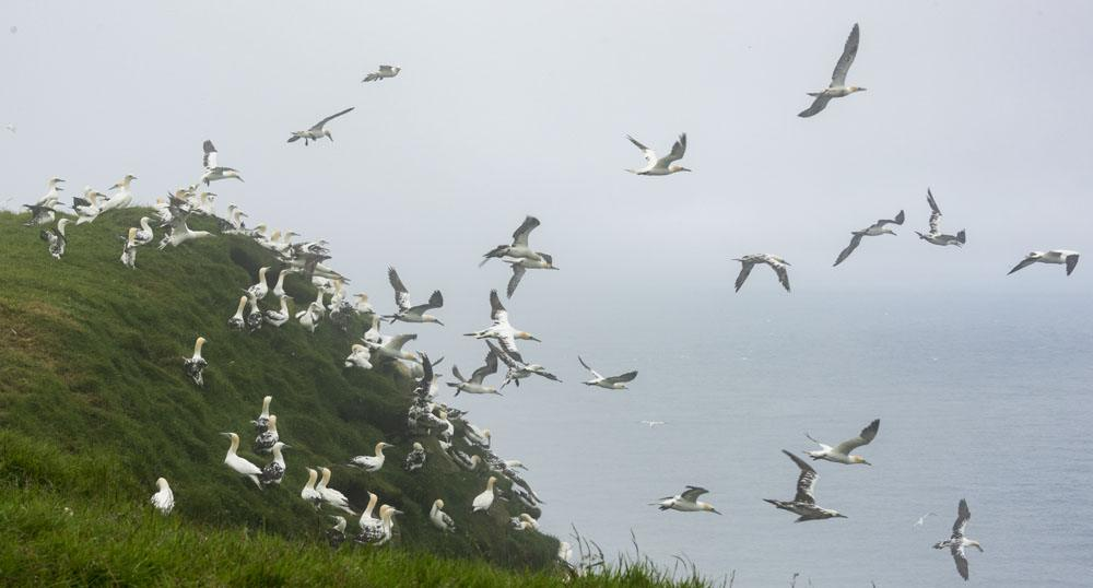 mykines faroe islands many gannets