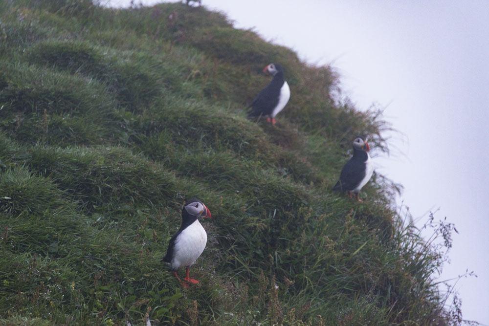 mykines faroe islands puffins