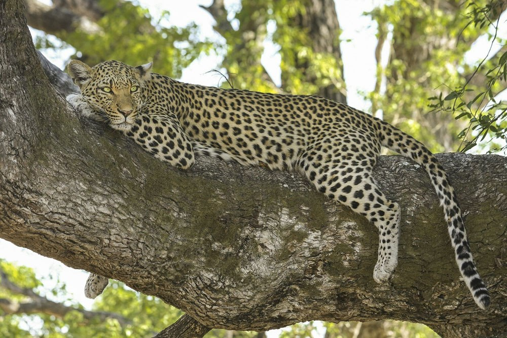southern africa leopard