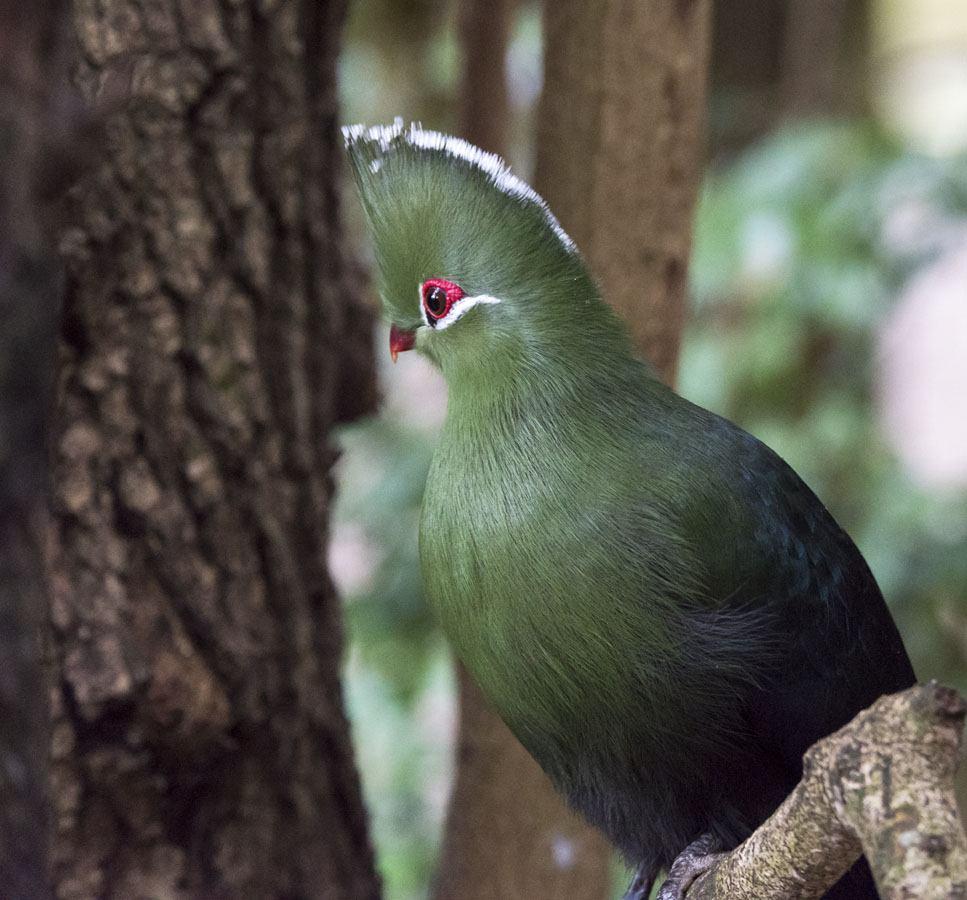 turaco bird plett